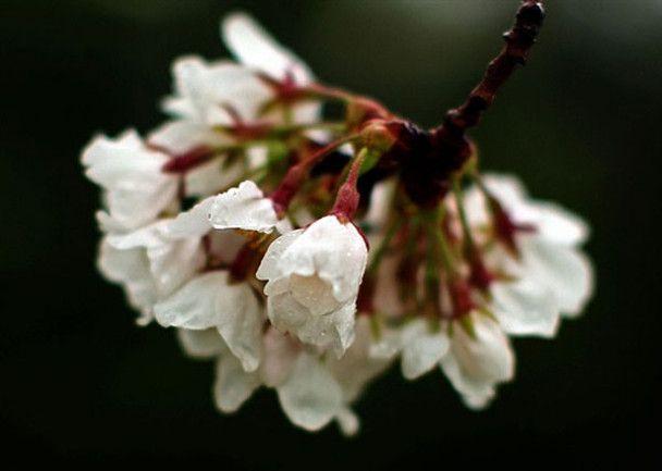 Свято цвітіння сакури