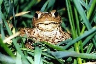 Любителі жаб'ячих ніжок можуть з'їсти всю популяцію