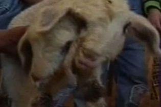 Вівця народила двоголове ягня (відео)
