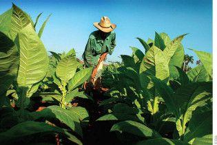 Тютюн виробляє антитіла проти раку