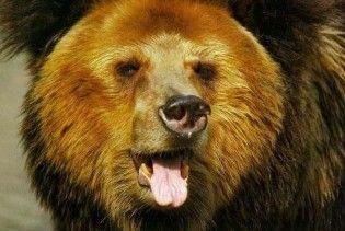 Столицею Словенії гуляє ведмідь