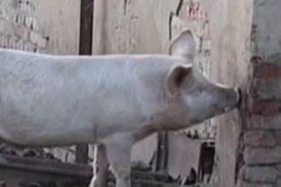 На Львівщині свині з'їли чоловіка (відео)