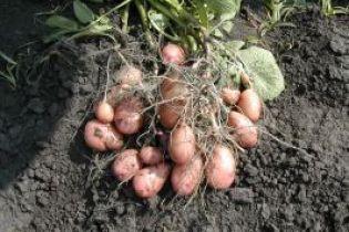 2008-ий - Міжнародний рік картоплі