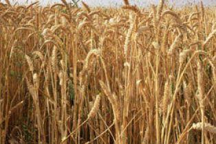 Под Киевом сгорело почти 200 тонн пшеницы (видео)