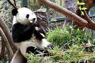 Дикі панди припинять існування вже через три покоління