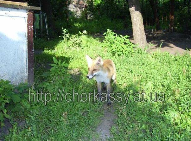 Люди приручили лисицю в Черкасах (відео)