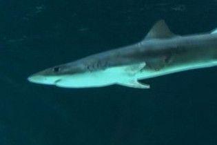Одна акула мимоволі зробила інший кесарів розтин