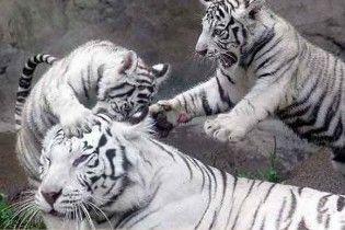 Тигри загризли дресирувальника в німецькому зоопарку