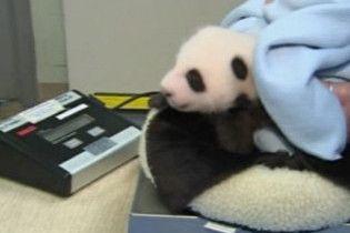 Панда з зоопарку Сан-Дієго здала свій перший іспит
