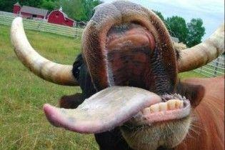 Скажена корова покусала двох селян