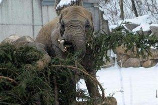 Головну ялинку Відня згодують слонам в зоопарку