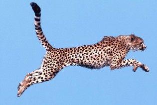 Гепард встановив новий світовий рекорд у забігу