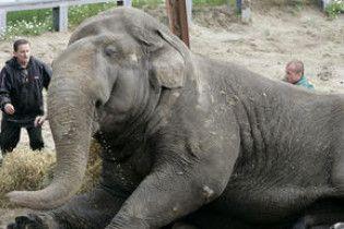 В Київському зоопарку помер слон, яким опікувався Черновецький