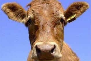 Російський зоофіл попросив у Путіна дозволу одружитися з коровою