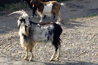 Білоруський суд виставив на продаж стадо кіз
