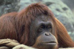 Орангутанг зробив прогрес в науці - навчився свистіти