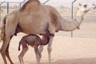 Арабські вчені вперше клонували верблюда