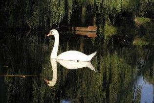 У Великобританії провели перепис лебедів