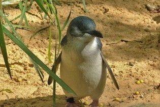 У Австралії снайпери захищатимуть пінгвінів