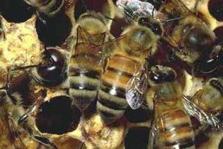 Під дією кокаїну бджоли поводяться як люди