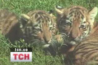 В Миколаївському зоопарку показали новонароджених тигренят