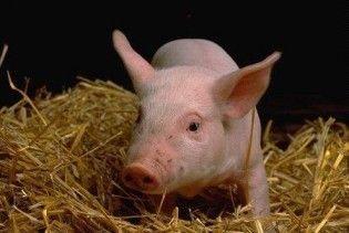 У Німеччині діоксин виявили на 320 свинофермах