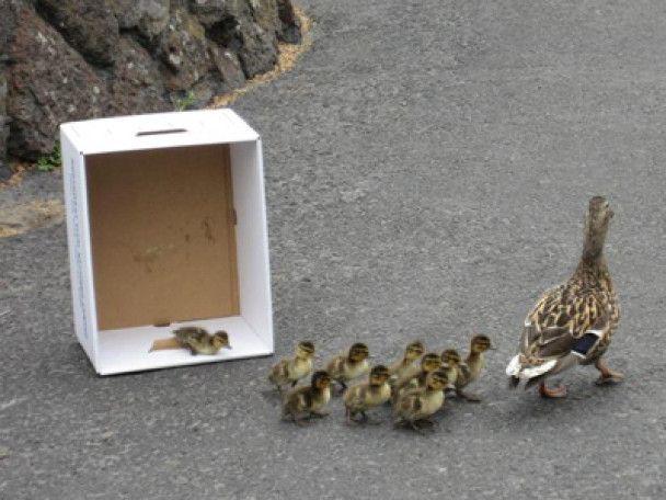 В США вболівали за сім'ю качок, яка намагалась вижити у великому місті