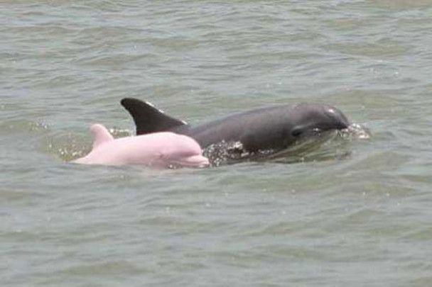 У США сфотографували єдиного в світі рожевого дельфіна