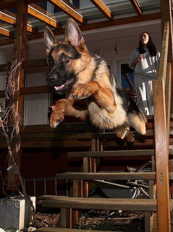 Британка бордер-коллі названа найрозумнішою собакою