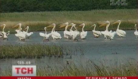 Таємниця мертвих пеліканів