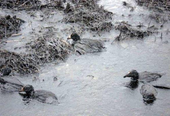 Птахи, постраждалі від мазуту