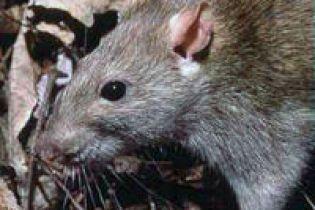 Мужчина погиб от крысиного вируса