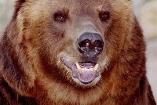 Через нашестя ведмедів в Сибіру ввели комендантську годину