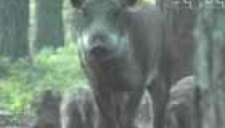 Дикі свині у волинських лісах