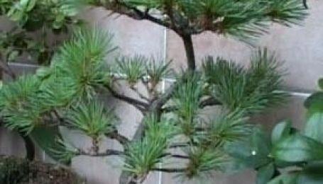 Диво-дерева в Україні