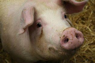 В ірландській свинині виявили діоксин (відео, оновлено)