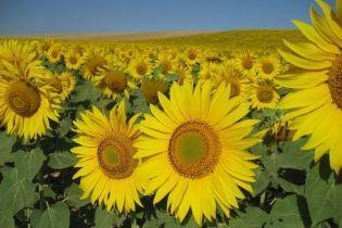 В Україні хочуть відмінити 17%-е мито на експорт соняшнику