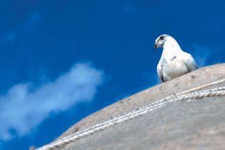 В Ірані заарештовані голуби-шпигуни (відео)