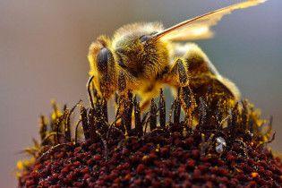 В Британии вымирают пчелы (видео)