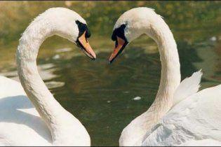 Птицы-геи способны заводить длительные отношения
