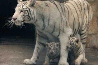 Три білі тигри загризли чоловіка в зоопарку Сінгапура
