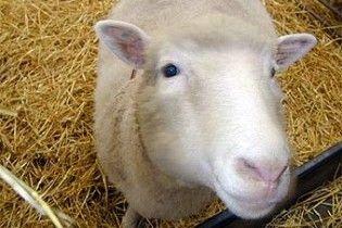 Вчений вирощує у тілі вівці орган для трансплантації