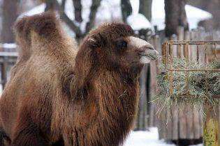 Нова смерть у Київському зоопарку: померла верблюдиця