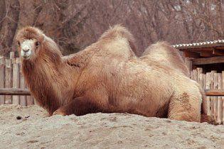 У Київському зоопарку заявили, що верблюдицю отруїли терористи