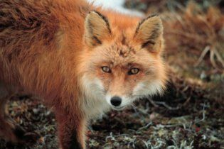 Лисиця-людожерка відгризла дитині половину обличчя