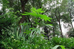 У Мексиці виявлено найбільшу плантацію марихуани в історії