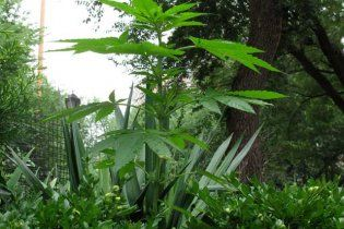 Ученые завершили первый этап расшифровки генома марихуаны