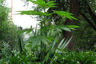 Вчені завершили перший етап розшифровки генома марихуани