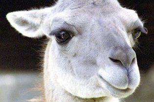 У Київському зоопарку народилась лама