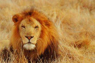 У США ресторан пропонує бургери з м'ясом левів